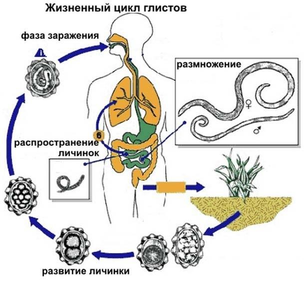 цинковая мазь от глистов при беременности
