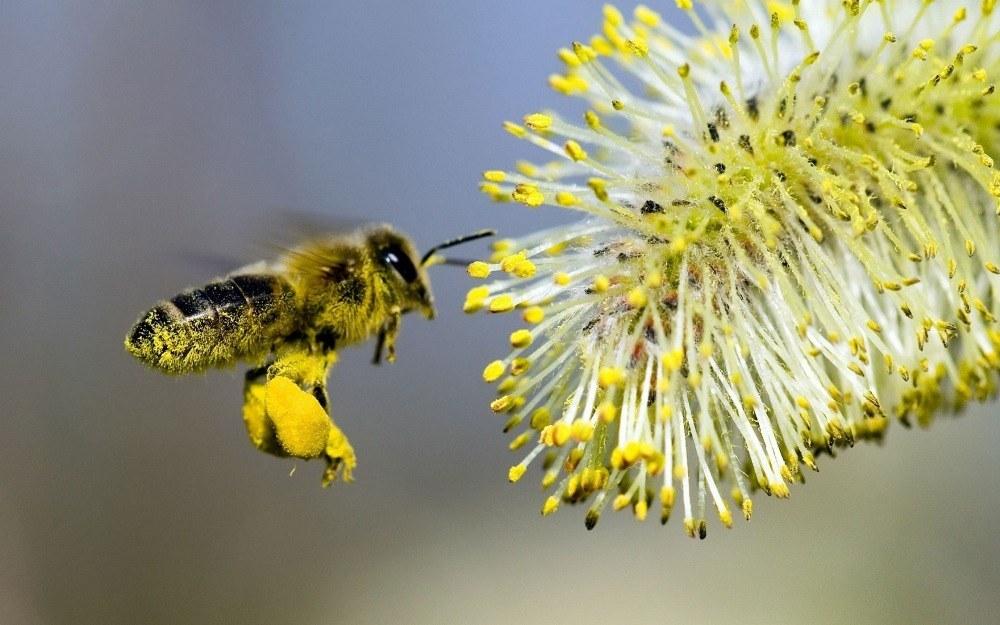 Лечебные свойства медовой пыльцы