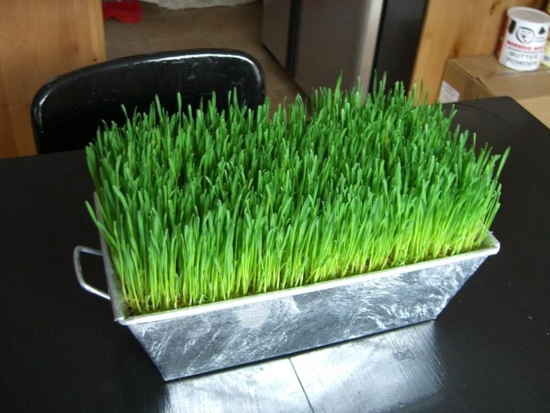 Проращивание зерен пшеницы