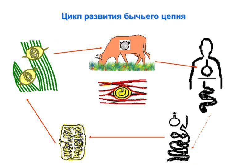 Развитие бычьего цепня