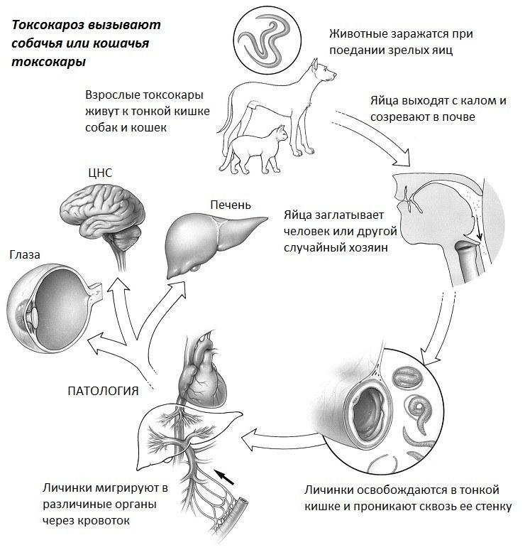 Схема заражения токсокарозом человека