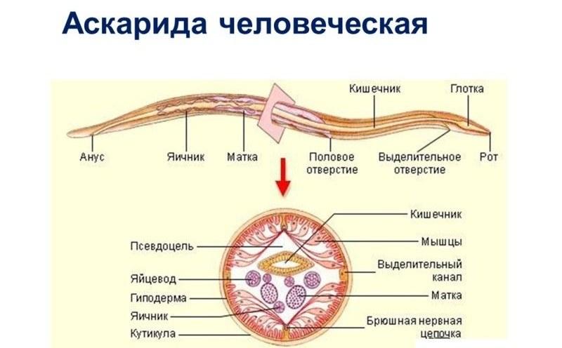 Глисты паразиты у детей фото
