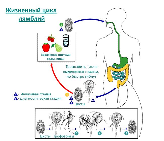 Схема лямблиоза