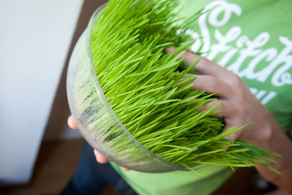 Как проращивают пшеницу в домашних условиях