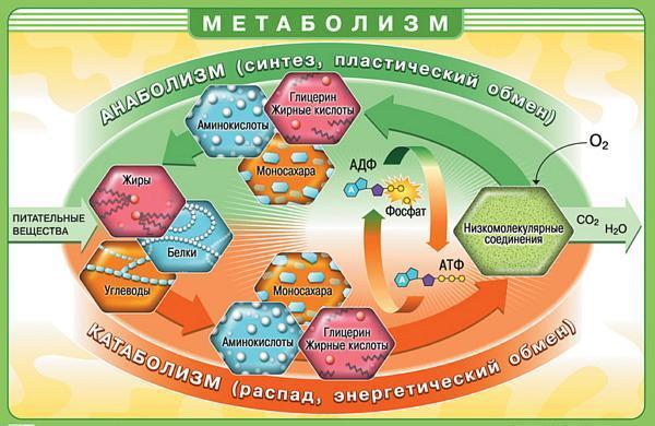 Схема метобализма