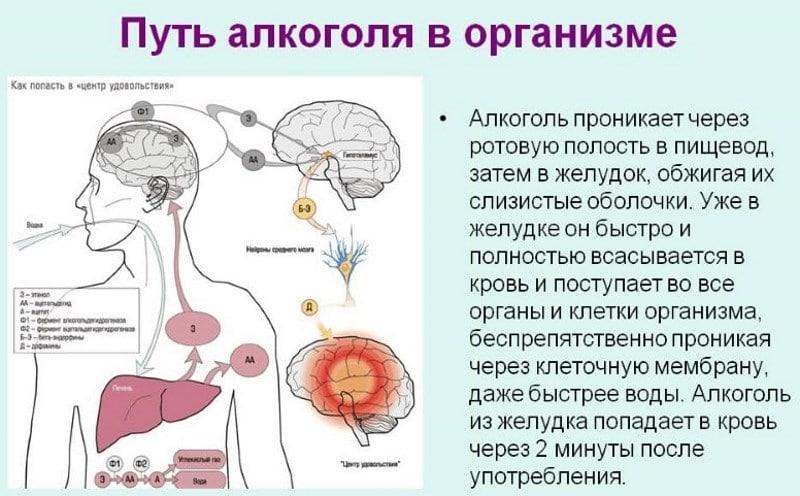 Распространение спирта по организму