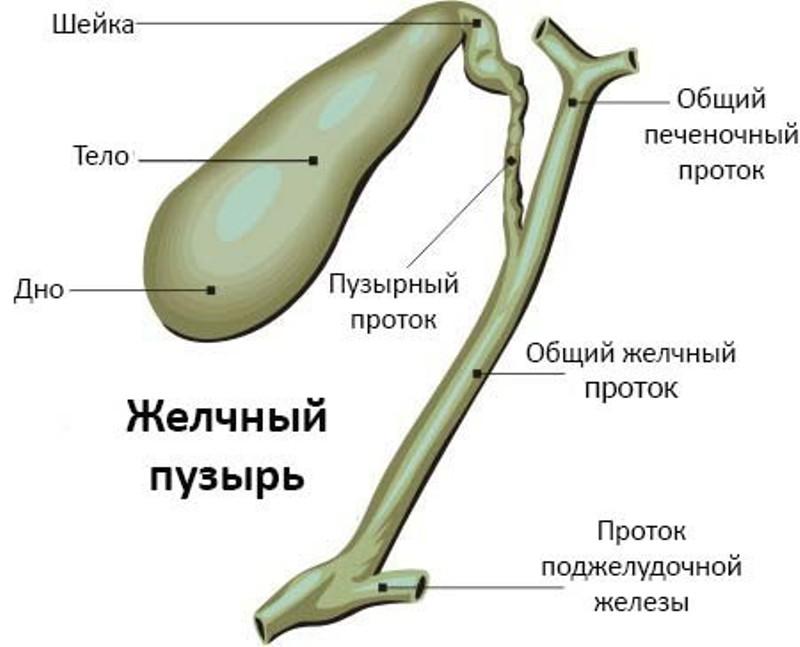 Функциональные особенности органа