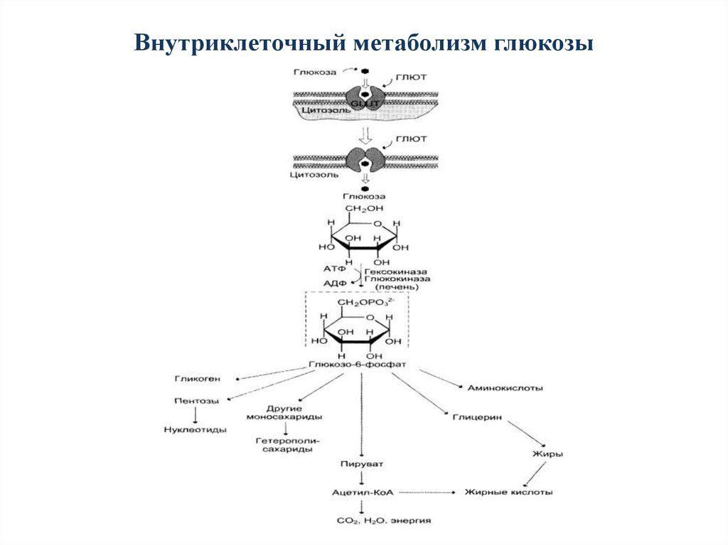 Внутриклеточный метаболизм